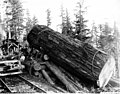 Fir log balanced on landing slip, Washington, 1906 (KINSEY 2786).jpeg