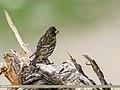 Fire-fronted Serin (Serinus pusillus) (35000929425).jpg