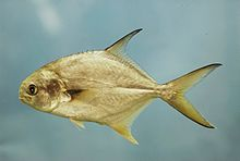Fish4502 - Flickr - NOAA Photo Library.jpg