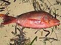 Fish lakshadweep kavaratti india.jpg