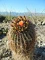 Fishhook barrel cactus, Saguaro National Park (Rincon Mountain District), Arizona (2a930956-d8d1-4a39-b6c7-9b5e5121f721).jpg