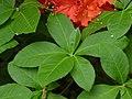 Flame Azalea Rhododendron calendulaceum 'Mandarin Red' Leaves 3264px.jpg