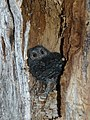 Flammulated owl (5416806604).jpg