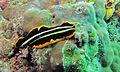 Flatworm (Pseudoceros dimidiatus) - Black Ray Channel, Pulau Kapalai, Sabah, Malaysia (2).jpg