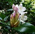 Fleurs de rhododendrons 3.JPG