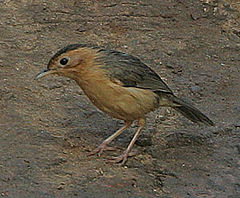 Flickr - Rainbirder - Brown-capped Babbler (Pellorneum fuscocapillum) (cropped).jpg