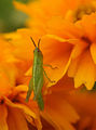 Flickr - aussiegall - Green on orange.jpg