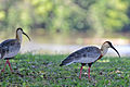 Flickr - ggallice - Buff-necked ibis (1).jpg