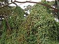 Flora of Tanzania 4433 Nevit.jpg