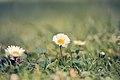 Flores (8446495985).jpg