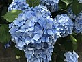 Flowers of Hydrangea macrophylla 20180609.jpg