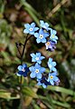 Forget-me-not, Churscombe - geograph.org.uk - 765233.jpg
