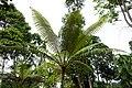 Fougère arborescente à São Tomé (2).jpg