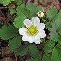 Fragaria iinumae (flower s8).jpg