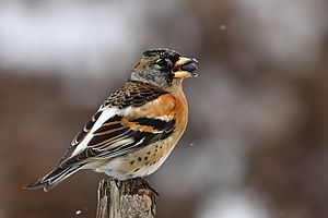 A male Brambling in Poland.