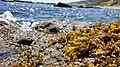 Fucus guiryi Strait of Gibraltar SouthSpain.jpg