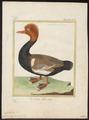 Fuligula rufina - 1700-1880 - Print - Iconographia Zoologica - Special Collections University of Amsterdam - UBA01 IZ17700003.tif