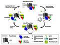 GPCR cycle.jpg