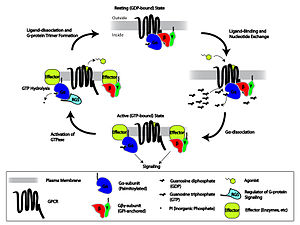 Molecular neuroscience - G-protein-linked receptor signaling cascade