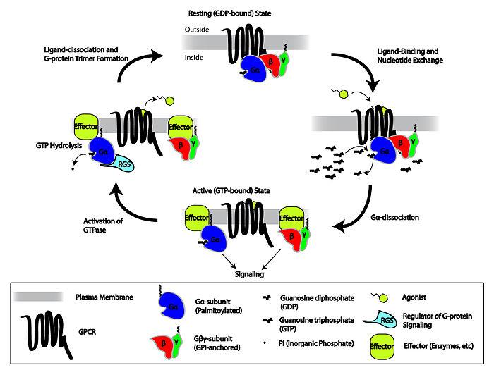 Neurotransmisores excitadores e inhibidores yahoo dating