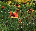 Gaillardia pulchella (14937942328).jpg