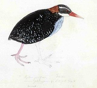 Extinct species of bird from Tahiti