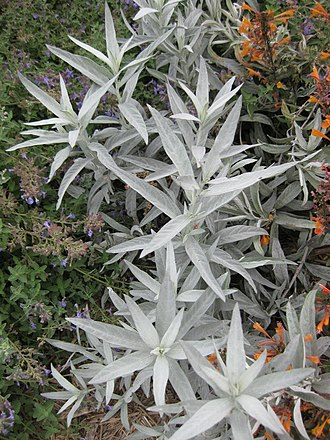 Artemisia ludoviciana - Image: Gardenology.org IMG 2731 rbgs 11jan