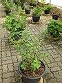 Gardenology.org-IMG 7961 qsbg11mar.jpg