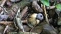 Geastrum pectinatum 701699.jpg