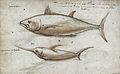 Gelderland1601-1603 Thunnus thynnus Xiphias gladius.jpg