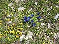 Gentiana alpina002.jpg