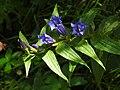 Gentiana asclepiadea RF.jpg