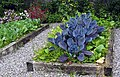 Genuine blue cabbages in the walled garden of 'The Potting Shed' restaurant, Applecross. - panoramio.jpg