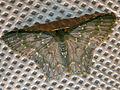 Geometrid Moth (Chloropteryx sp.) (24266419863).jpg