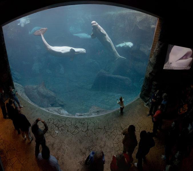 Fichier:Georgia Aquarium - Baluga Whales Jan 2006.jpg