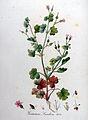 Geranium lucidum — Flora Batava — Volume v9.jpg
