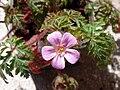 Geranium purpureum-3.JPG