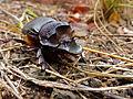 Giant Dung Beetle (Heliocopris andersoni) female (11684404604).jpg