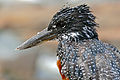 Giant Kingfisher (Megaceryle maximus) female (16528704265).jpg