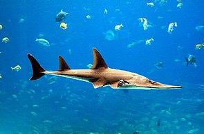 Giant guitarfish (Rhynchobatus djiddensis).jpg