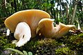 Giant sized mushrooms in Singalila National Park.jpg