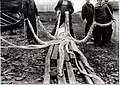 Giant squid from Newfoundland (1).jpg