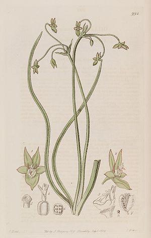 Gilliesieae - Gilliesia graminea, by John Lindley 1826