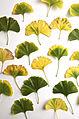 Gingko Autumn (4034939143).jpg