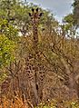 Giraffe among tress.jpg