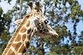 Giraffe head 2.jpg