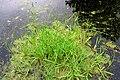 Glyceria declinata plant (01).jpg