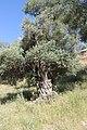 Gnarled olive tree near En el-Kezbe.jpg