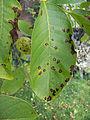 Gnomonia leptostyla on Juglans regia Buccaneer (1).jpg