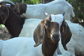 Rent A Goat A company which rents out goat herds for land-clearing purposes